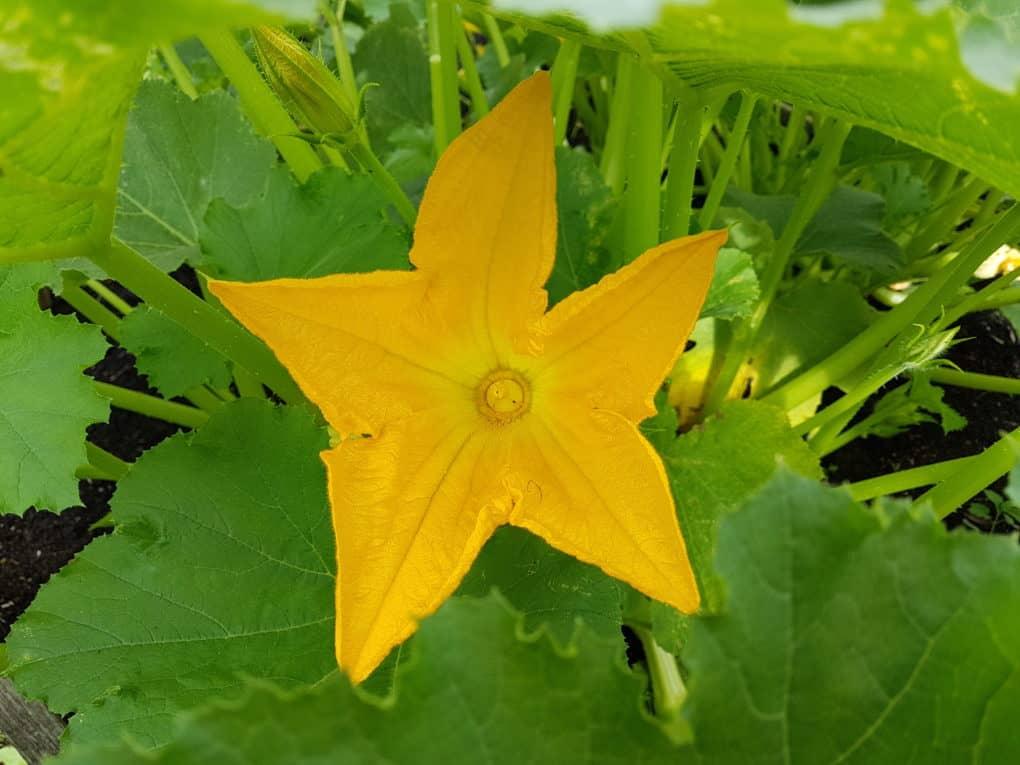 kwiat cukinii